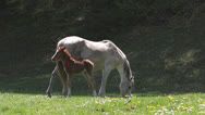 Stock Video Footage of Baby horse and mother horse on spring meadow