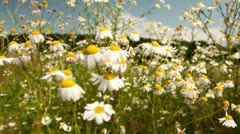 Chamomile Stock Footage