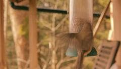 Stock Video Footage of Robins at Bird Feeder