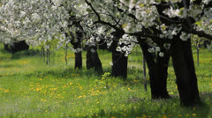 Trees in bloom in a blossom orchard in spring breeze Stock Footage