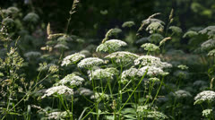 Apiaceae plant Stock Footage
