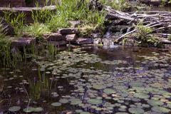 Beaver dam - stock photo