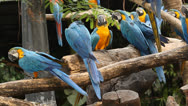 Stock Video Footage of group of macaws on the branch.