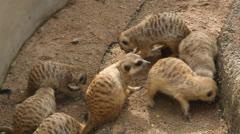 Meerkat eating worm Stock Footage