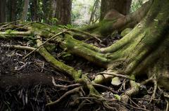 Roots of a Tropical Tree in Hawaii Stock Photos