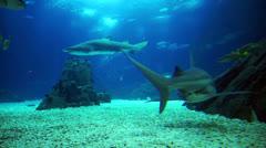 Grey Reef Shark Head on Stock Footage