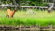 Stock Video Footage of Baby Elk