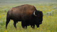 Stock Video Footage of Bison In Meadows