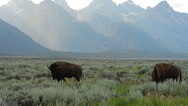 Stock Video Footage of Bison and Grand Tetons