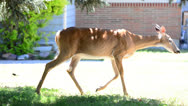 Stock Video Footage of Deer Walking Through Front yard