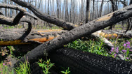 Stock Video Footage of Remains Of Forest Fire In Yellowstone