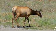 Stock Video Footage of Elk Walking