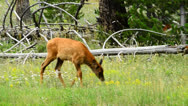 Stock Video Footage of Baby Elk Walking