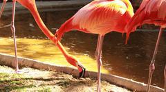 Pink beautiful flamingos flamingoes! Stock Photos