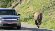 Stock Video Footage of Bison On Roadway