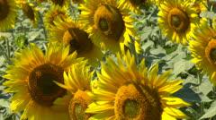 Sunflowers field Stock Footage