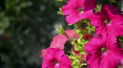 Red petunias wavering Stock Footage