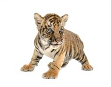 baby bengal tiger - stock photo