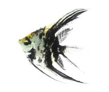 angelfish - stock illustration