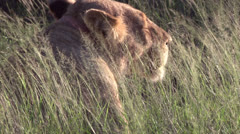 Female Lion in the bush Stock Footage