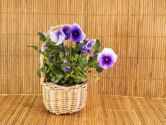 Viola on bamboo background Stock Photos