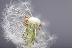 half blown dandelion - stock photo