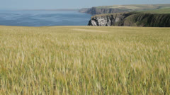 Field of Barley on the Scottish Coast Stock Footage