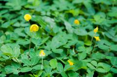 pinto peanut (arachis pintoi) in the garden - stock photo