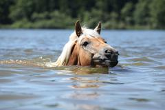 young haflinger swimming - stock photo