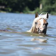 young haflinger swimming and looking at you - stock photo