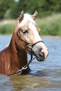 portrait of blond haflinger in the water - stock photo