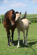 Brown mare with palomino foal on pasture Stock Photos