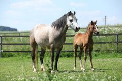Stock Photo of welsh mountain pony mare with foal on pasture