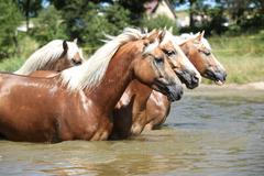 Batch of chestnut horses moving in the wather Stock Photos