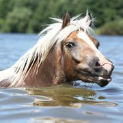 blond haflinger swimming and looking at you - stock photo
