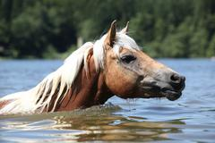 blond haflinger swimming in the water - stock photo