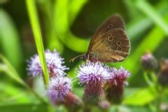 Ringlet - Thistle - stock photo