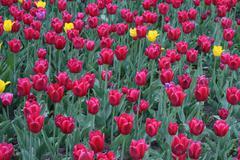 Beautiful tulips background Stock Photos