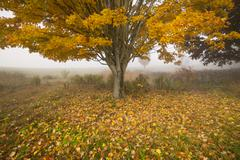 lone maple tree on a foggy fall morning in vermont, usa - stock photo