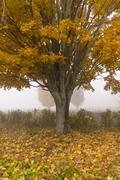 Lone maple tree on a foggy fall morning in vermont, usa Stock Photos