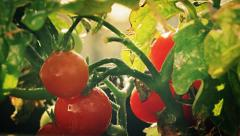 Organic Cherry Tomato on Vine in the garden Stock Footage