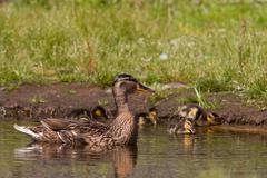 Mother duck guarding ducklings Stock Photos