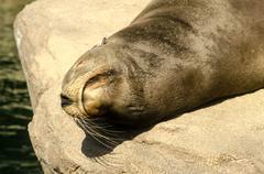Sea lion closeup Stock Photos