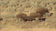 Bison,calves,fight,Haden,Yellowstone,Wy Stock Footage