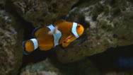 Stock Video Footage of clownfish
