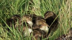 Ducklings - stock footage
