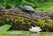 Stock Photo of terrapin on a river