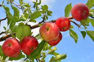 Stock Photo of apples on a branch