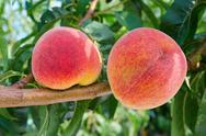Stock Photo of ripe peaches