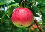 Stock Photo of ripe apple